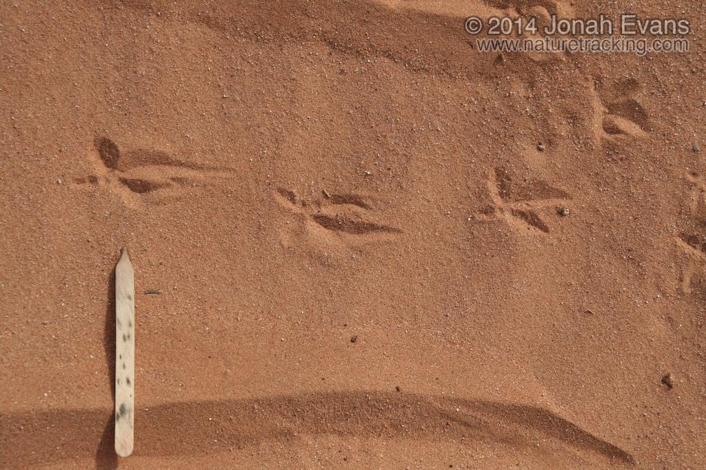 Burrowing Owl Tracks