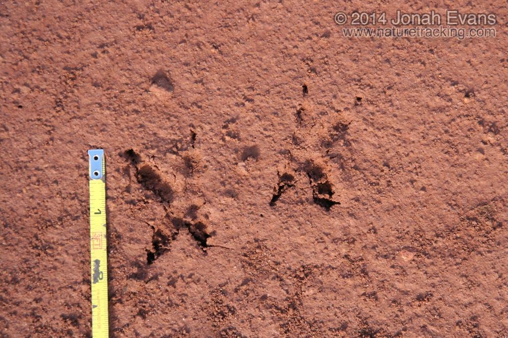Burrowing Owl Tracks (South America)