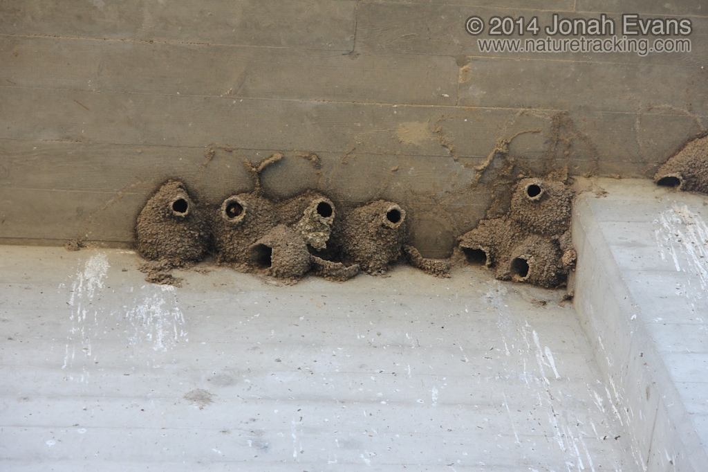 Cliff Swallow Nests