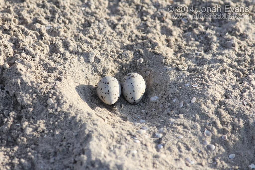 Least Tern Eggs