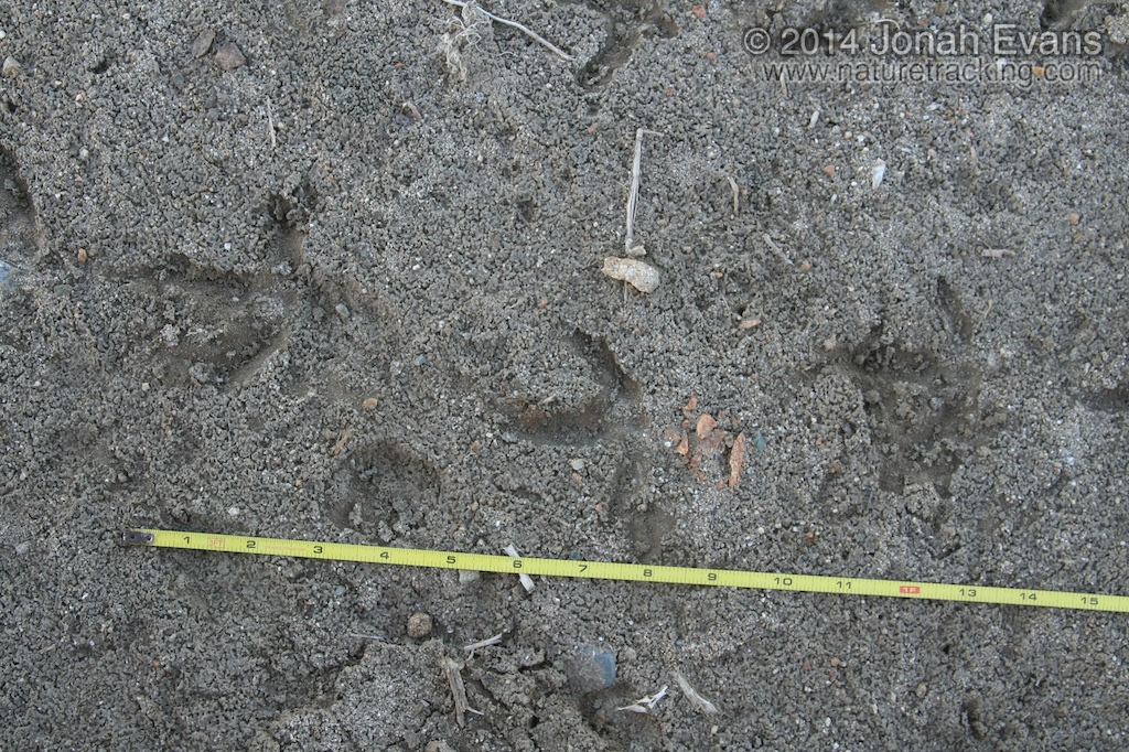 Long-billed Curlew Tracks