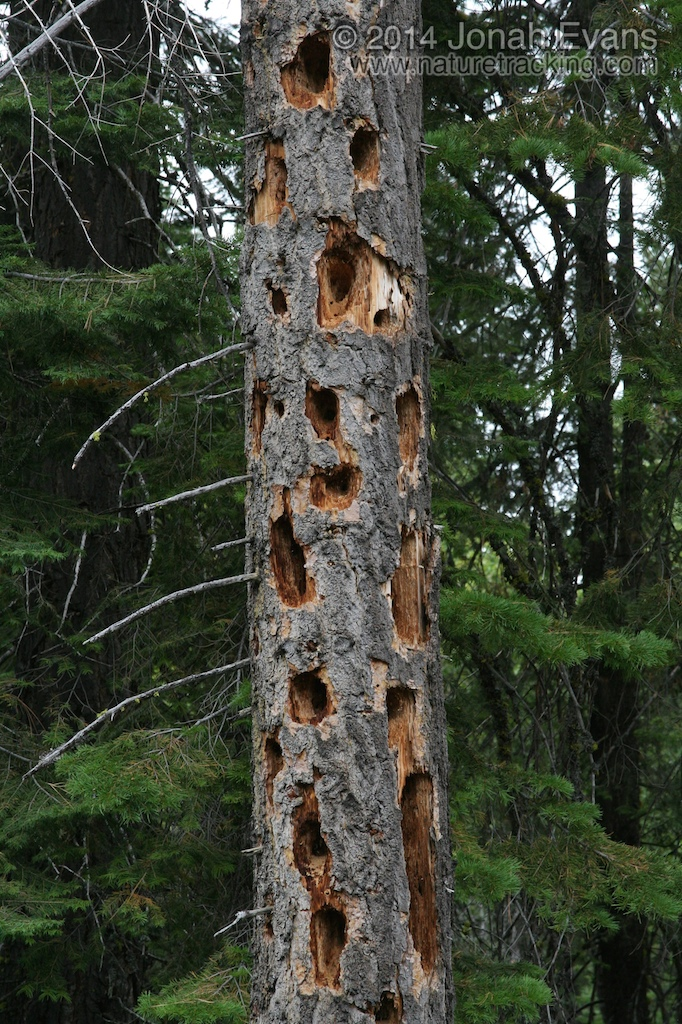 Pileated Woodpecker Sign