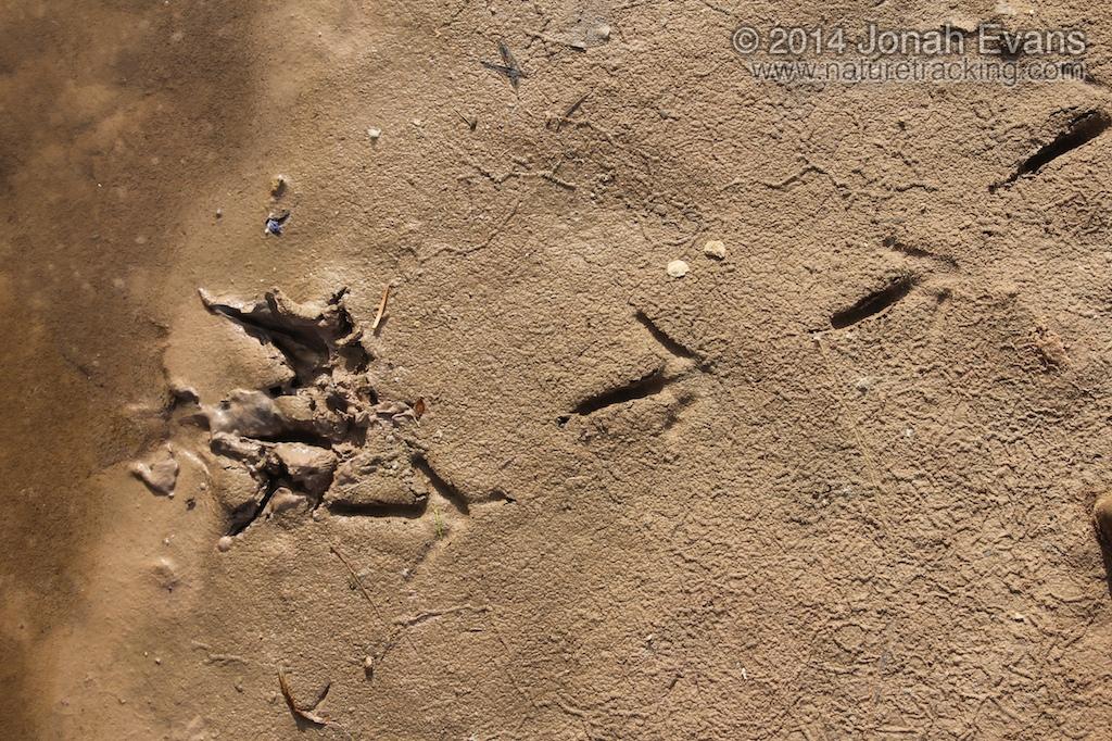 Vulture Tracks