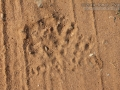 Great Horned Owl Tracks