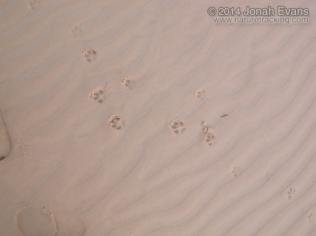 Coyote Tracks