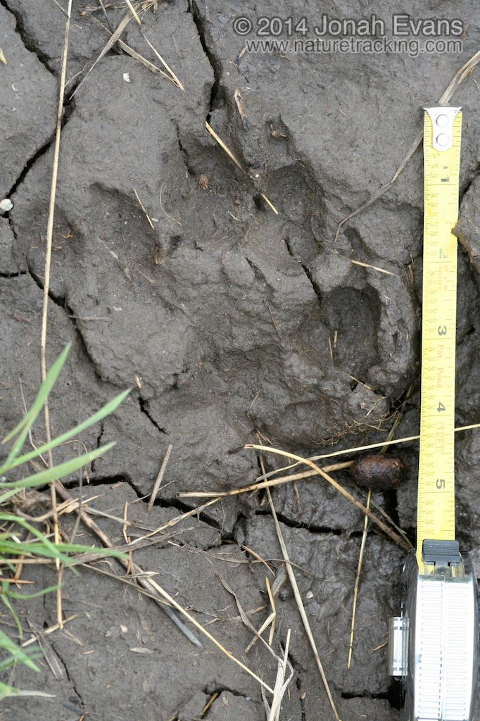Gray Wolf Track