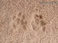 Coyote and Bobcat Tracks