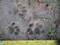 Housecat Tracks