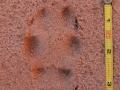 Red Fox Track