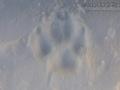 Gray Wolf Track