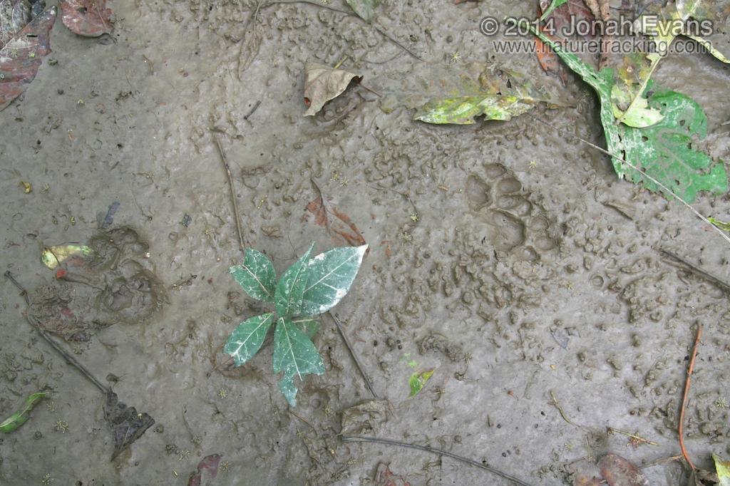 Ocelot Tracks