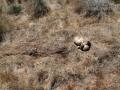 Mountain lion Deer Kill