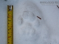 Mountain Lion Tracks