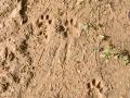 Jaguar Mother and Kitten Tracks