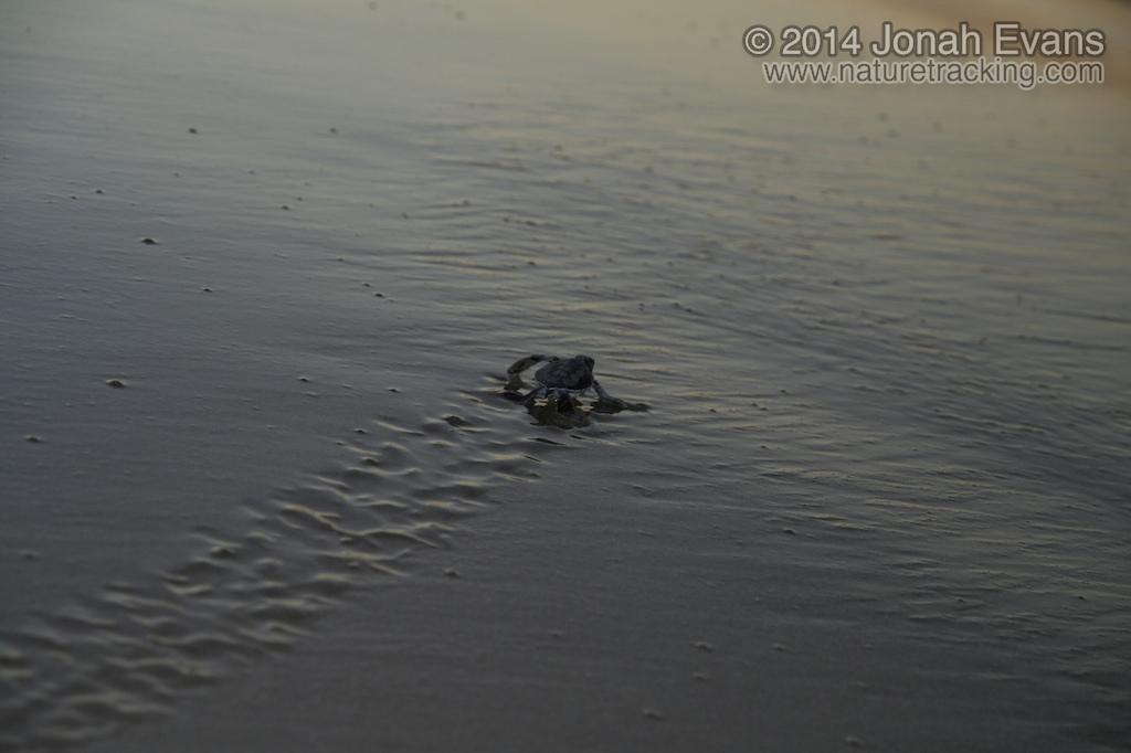 Baby Green Sea Turtle Tracks