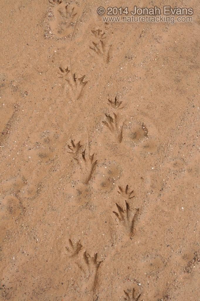 Caiman Tracks (South America)