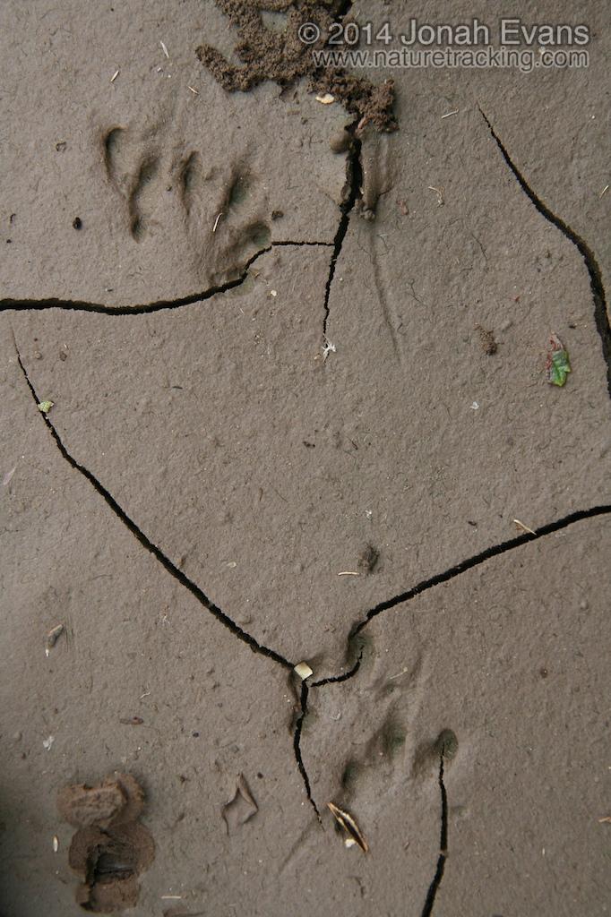 Tiger Salamander Tracks
