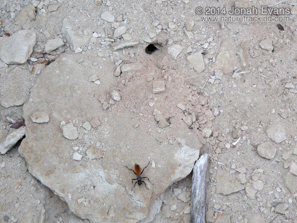 Wasp and Burrow
