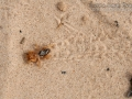 Jerusalem Cricket Tracks