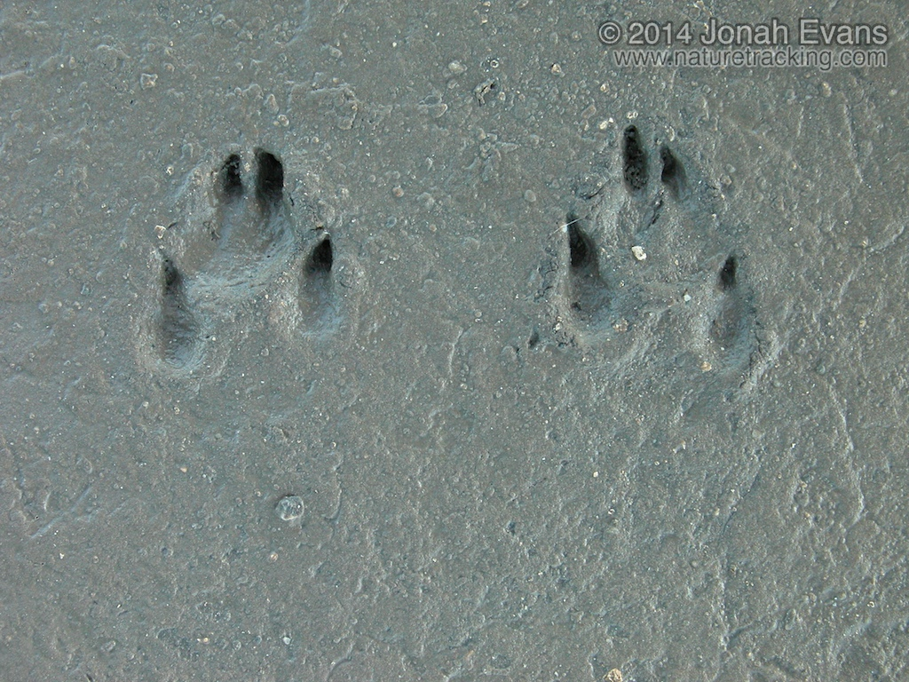 Black-tailed Jackrabbit Tracks