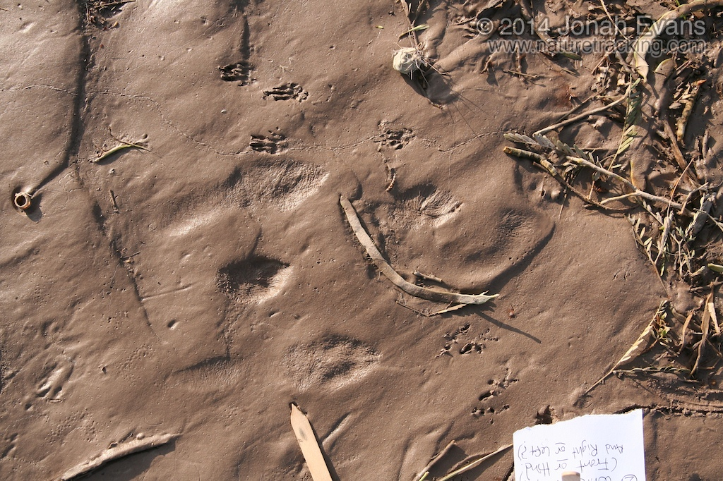 Jackrabbit Tracks