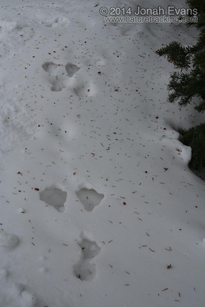 Snowshoe Hare Tracks