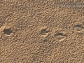 Black-tailed Jackrabbit Tracks & Scat