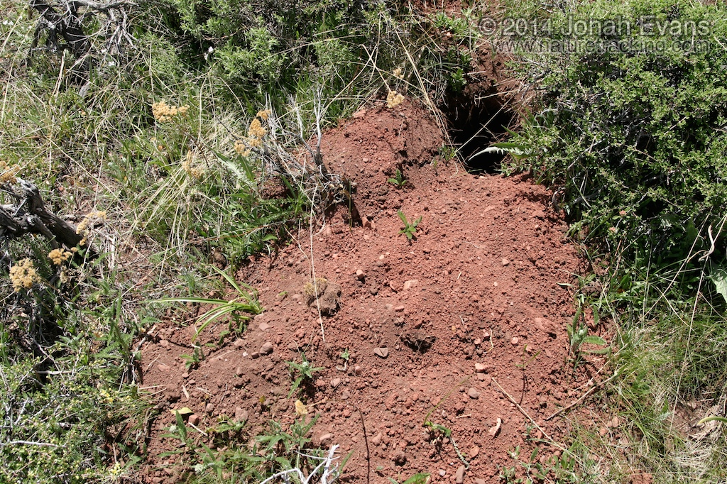 Badger Burrow