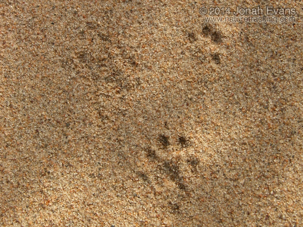 Long-tailed Weasel Tracks