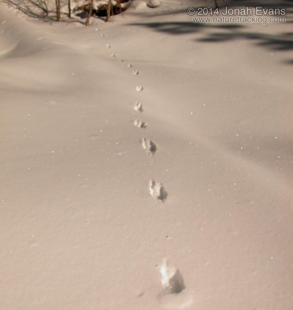 Marten Tracks