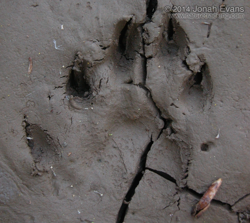 River Otter Tracks