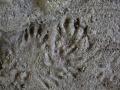 Opossum and River Otter Tracks