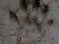 River Otter Tracks