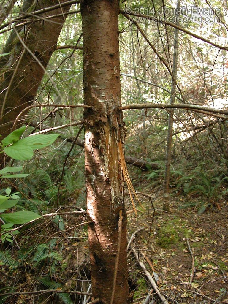 Black Bear Bite on Tree