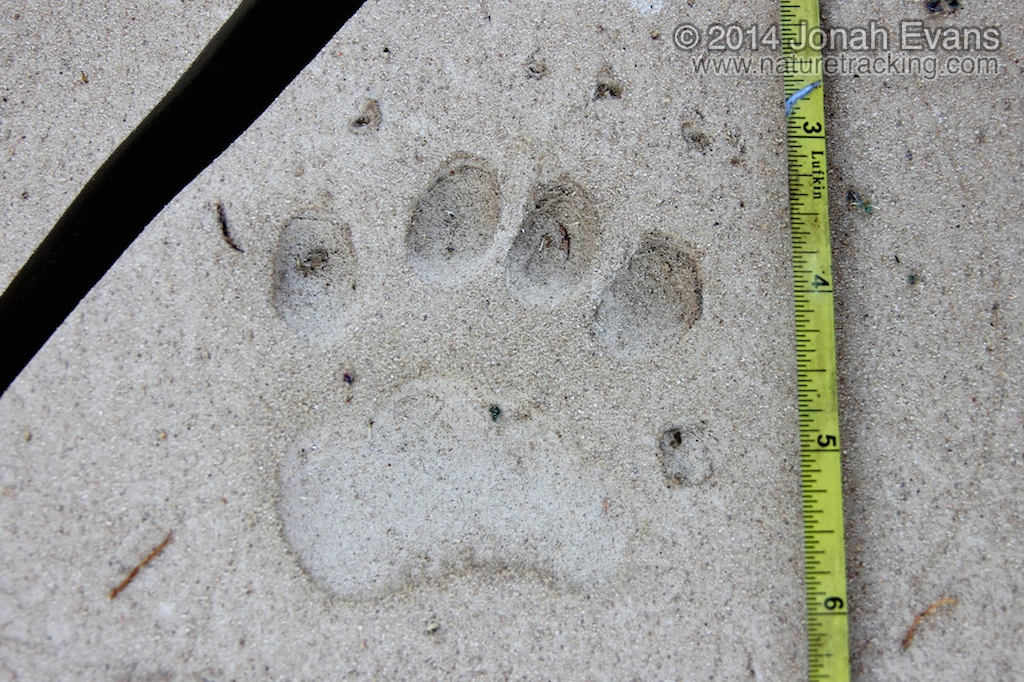 Black Bear Left Front Track
