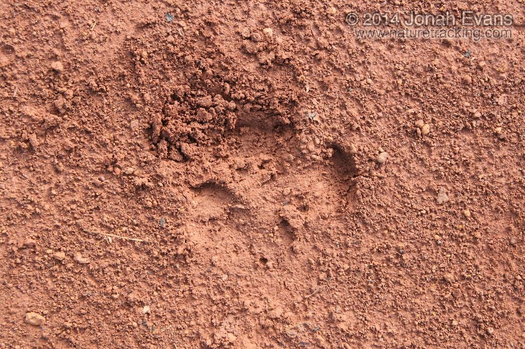 Giant Armadillo Tracks