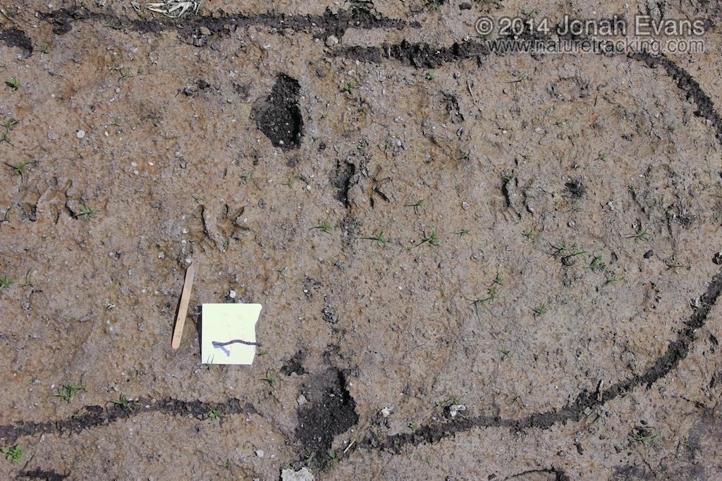 Opossum-Trot-Tracks