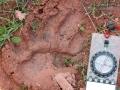 Black Bear Track