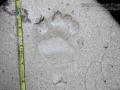 Black Bear Left Hind Track