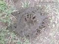 Raccoon Track in Cow Scat