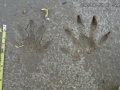 Crab-eating Raccoon Tracks