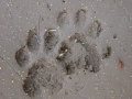 Ringtail Tracks