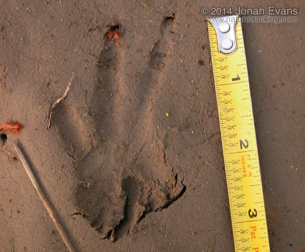 Beaver Tracks