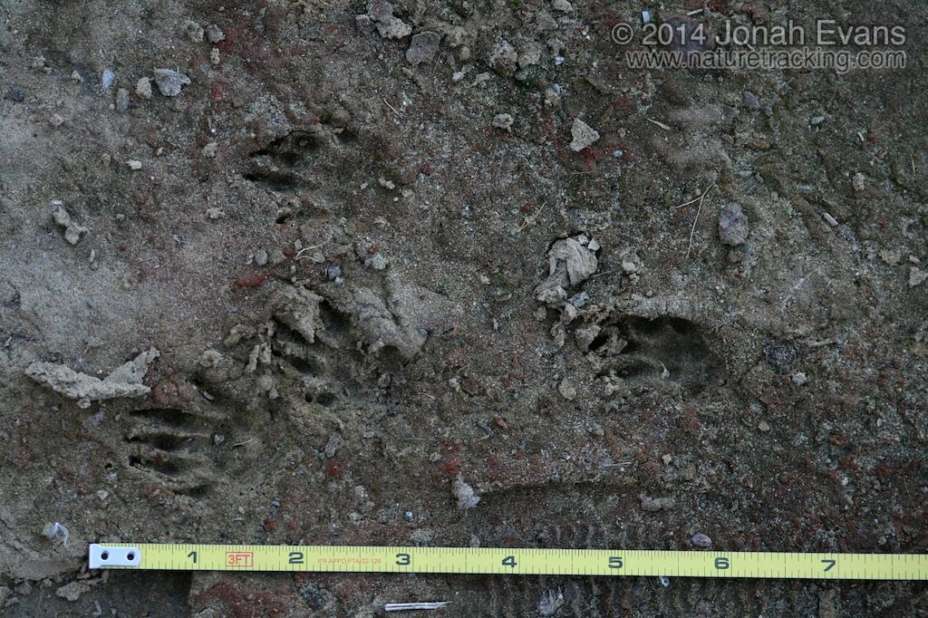 California Ground Squirrel Tracks