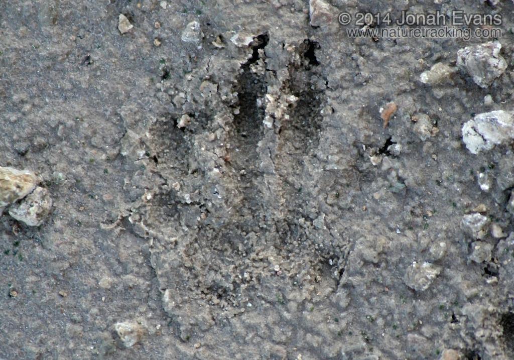 California Ground Squirrel Hind Track