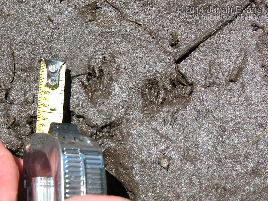 Chipmunk Tracks