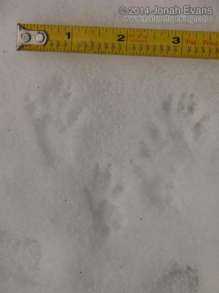 Douglas Squirrel Tracks