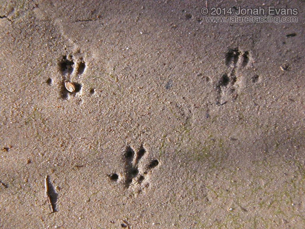 Harvest Mouse Tracks