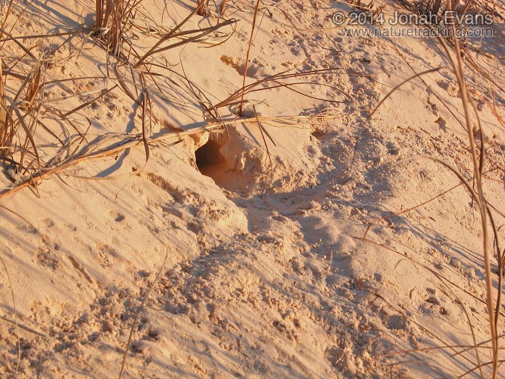 Kangaroo Rat Trail & Burrow