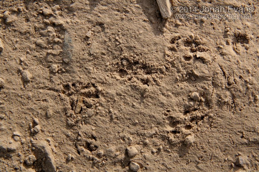 Pocket Mouse Tracks